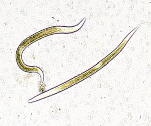 Exhibitline sc, nematodes