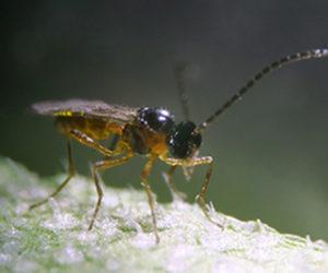 aphiline, aphidius colemani, parasitic wasp