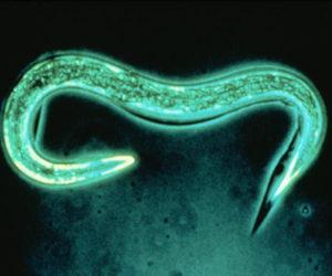 Exhibitline Hb, nematodes