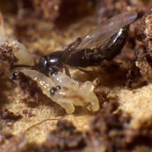Staphyline (Atheta coriaria)