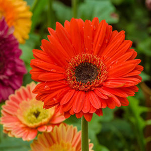 Gerbera Flower, Cut Flower