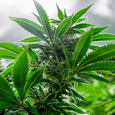 Biocontrol and Integrated Crop Management products for your cannabis crop, cannabis mother plant